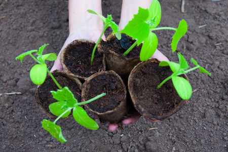 unfold: macro small green shoots of cucumber in peat pots in the hands of a spring garden