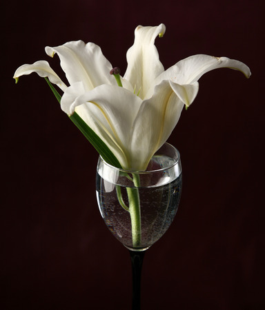 burgundy background: close-up delicate flower white lily in a glass of water on a burgundy background studio