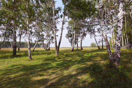 grassplot: beautiful summer landscape birch grove in the Urals on a clear sunny day