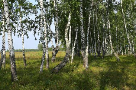 grassplot: beautiful summer landscape birch grove in the Urals on a clear sunny day