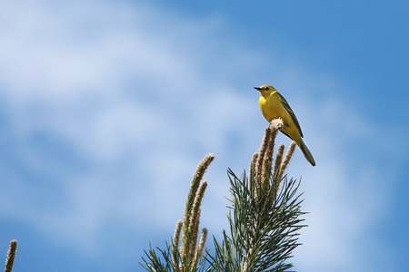 oriole: spring landscape songbird oriole on a pine branch against the blue sky