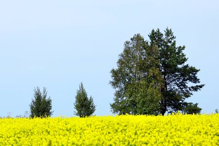 coleseed: beautiful summer landscape of blooming rapeseed fields and trees