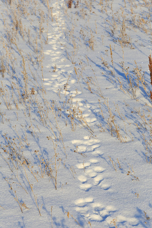 close-up hare tracks in the snow in bright sunlight early frosty morning photo