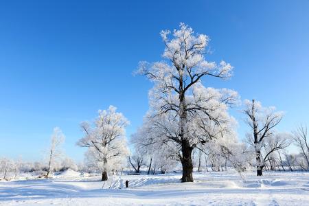 winter landscape frost oaks in sunny frosty morning Stock Photo