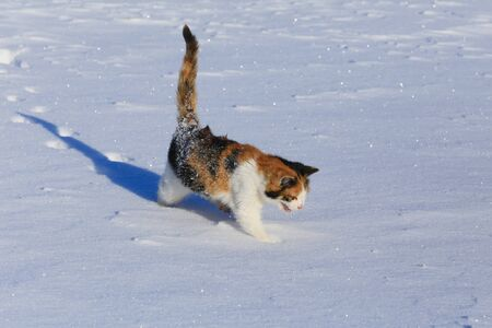 close-up of a beautiful tricolor cat on the sparkling snow on a sunny frosty day photo