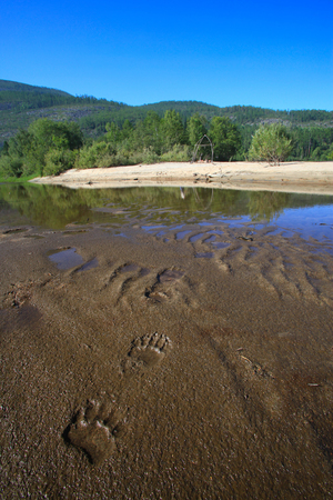 wet bear: close-up bear footprints in the wet sand of the lake Frolikha on a summer day