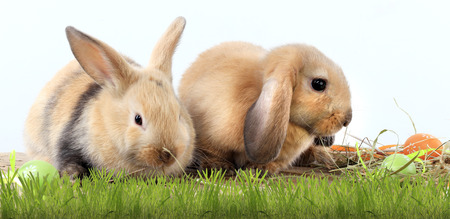 bunny rabbit: close-up pair of easter bunny on white background studio Stock Photo