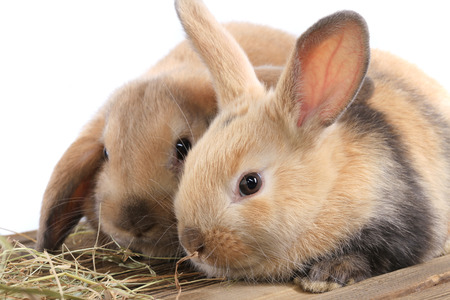 close-up pair of easter bunny on white background studio photo
