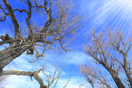 landscape crown of oak trees without leaves against the sky
