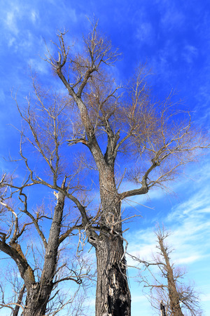 landscape crown of oak trees without leaves against the sky photo
