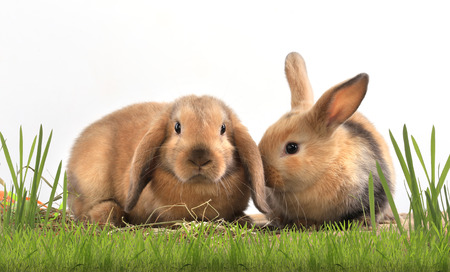 close-up pair of easter bunny on white background studio