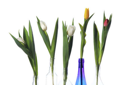 abreast: close-up isolated of Tulips in bottles on white background studio Stock Photo