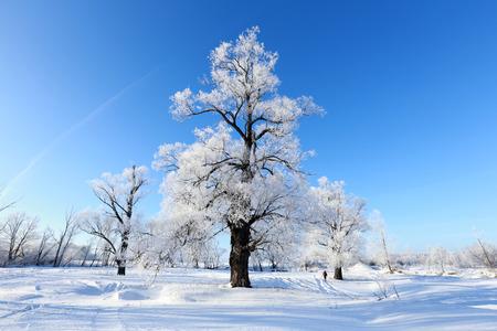 winterlandschap vorst eiken in zonnige koude ochtend
