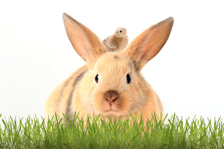 close-up cute rabbit and chicken in green grass on white background studio photo
