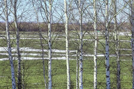 spring landscape young birch trees in a field with winter crops and melting snow on a sunny day photo