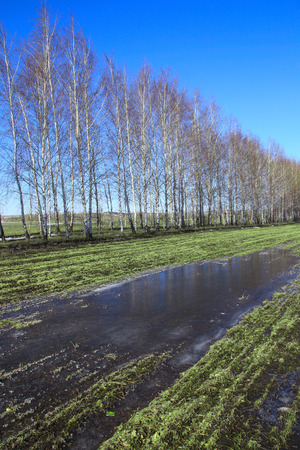 thawed: spring landscape young birch trees in a field with winter crops and melting snow on a sunny day