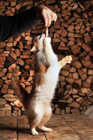 close-up ginger cat standing on its hind legs reaching for the meat in the mans hand photo