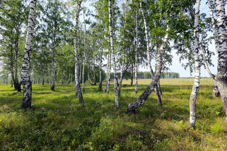 schöne Sommerlandschaft Birkenhain im Ural auf einem klaren sonnigen Tag