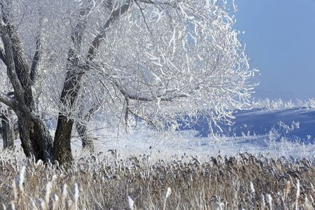 beautiful winter landscape trees in hoarfrost in the snow-covered field on a sunny day photo