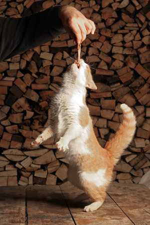 cat stretching: close-up ginger cat standing on its hind legs reaching for the meat in the mans hand Stock Photo