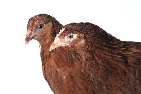 pullet: close-up portrait of a pair of hens red color on a white background studio