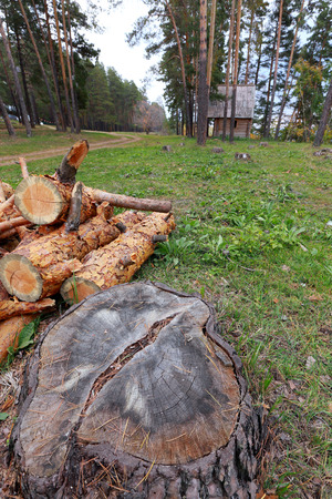 sawn: close-up of sawn wood on the lawn near a pine forest in autumn