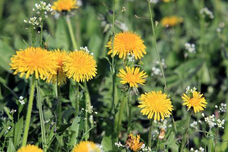 dandelion: macro beautiful yellow dandelions on a green meadow on a sunny spring day Stock Photo