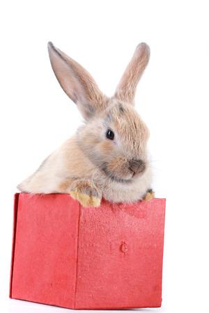 close-up portret Bunny konijn in de rode doos op een witte achtergrond studio