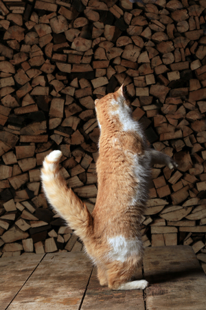 hind: close-up ginger cat standing on its hind legs reaching for the meat in the mans hand Stock Photo