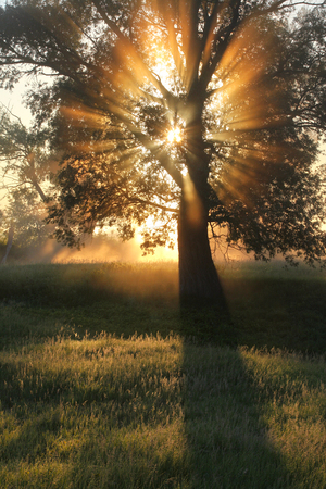oak: picturesque summer landscape misty dawn in an oak grove on the banks of the river