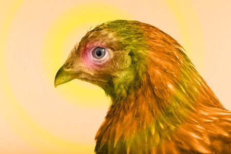 pullet: close-up portrait one red hen on white background studio