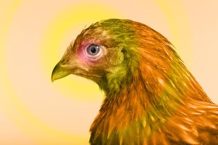 red hen: close-up portrait one red hen on white background studio