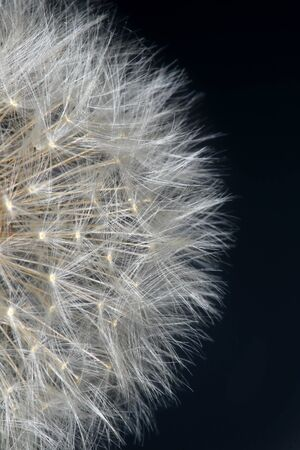 dandelion: Macro fluffy dandelion on a grey background Studio