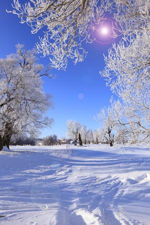 frost winter: winter landscape frost oaks in sunny frosty morning Stock Photo
