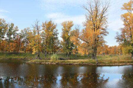 arbol roble: paisaje de otoño amarilleado follaje de los árboles de roble en el bosque cerca del río en un día nublado