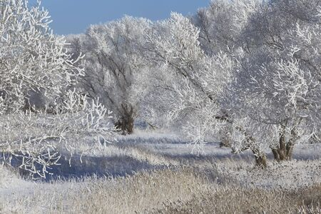 winter forest: beautiful winter landscape trees in hoarfrost in the snow-covered field on a sunny day