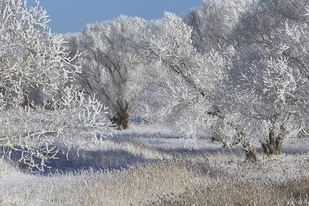 mooie winterlandschap bomen in rijm in het veld met sneeuw bedekte op een zonnige dag Stockfoto