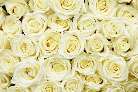 white cream: isolated close-up of a huge bouquet of white roses