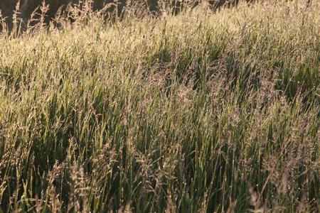 sol naciente: Aislados cerca de la hierba con el roc�o en los rayos del sol naciente