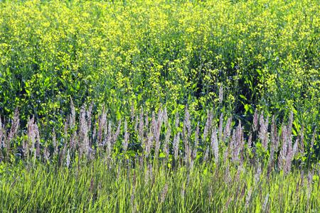 mustard field: background of flowering mustard field on a sunny summer day Stock Photo