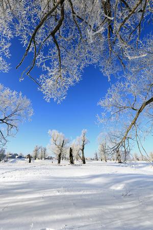 winterlandschap vorst eiken in zonnige ijzige ochtend Stockfoto