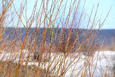 disordered: macro isolated willow branches on the riverbank in early spring