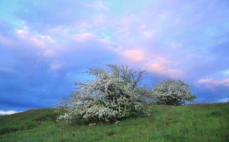 spring landscape flowering apple trees on the river bank at sunset
