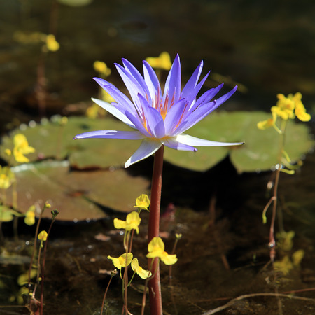 nympha: macro purple waterlily in sunlight in thailand