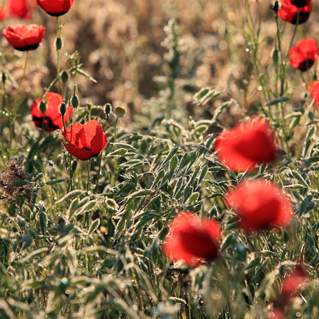 narcotic: Red poppy flowers field, close-up early in the morning Stock Photo
