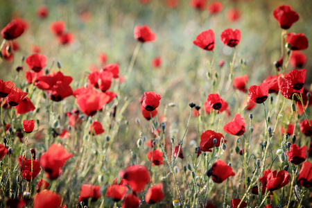 Red poppy flowers field, close-up early in the morning Stock Photo