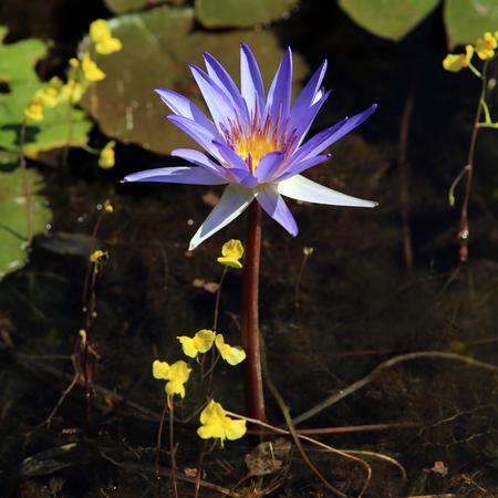 nymphaeaceae: macro purple waterlily in sunlight in thailand
