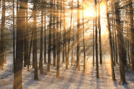 소나무 숲에서 나무의 서 리 낀 가지를 통해 태양 광선의 겨울 풍경
