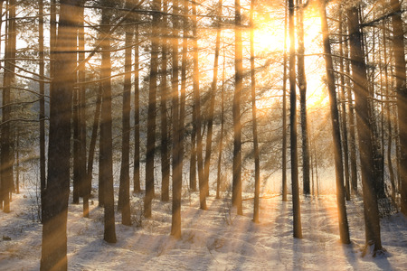 winter landscape of the suns rays through the frosted branches of the trees in pine forest Stok Fotoğraf