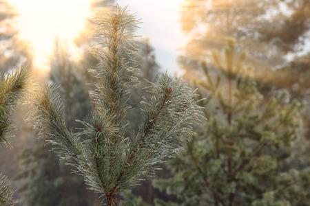 pies bonitos: paisaje de invierno de los rayos del sol a través de las ramas heladas de los árboles en el bosque